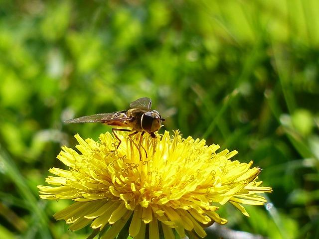 Syrphe flower-fly-258578_640