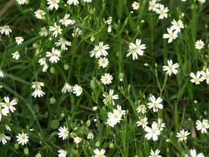 mouron blanc chickweed-320316_640