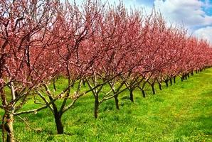 verger-cerisier basse tige